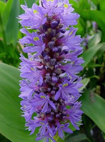 royal pickerel rush is a beautiful pond plant that is easy to grow in any pond big or small