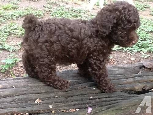 "CKC REGISTERED TOY POODLE PUPPY. This is ""Brownie"" a chocolate male toy poodle puppy. He is $550. He was born on May 7th 2012. He was 8 weeks old on July 2nd 2012. His tail has been docked and dew claws removed. He has been wormed and is up to date on his shots. He is located in Navasota Texas 77868. 936- Please leave a message if no answer."