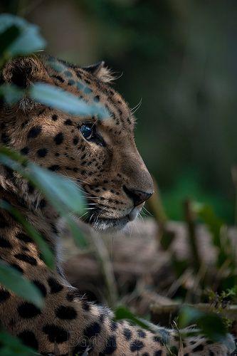 7. Jaguar - This is a beautiful picture of a resting jaguar taken by Bart Hardoff.