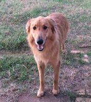 Gollie dog for Adoption in Winter Park, CO. ADN-725403 on PuppyFinder.com Gender: Female. Age: