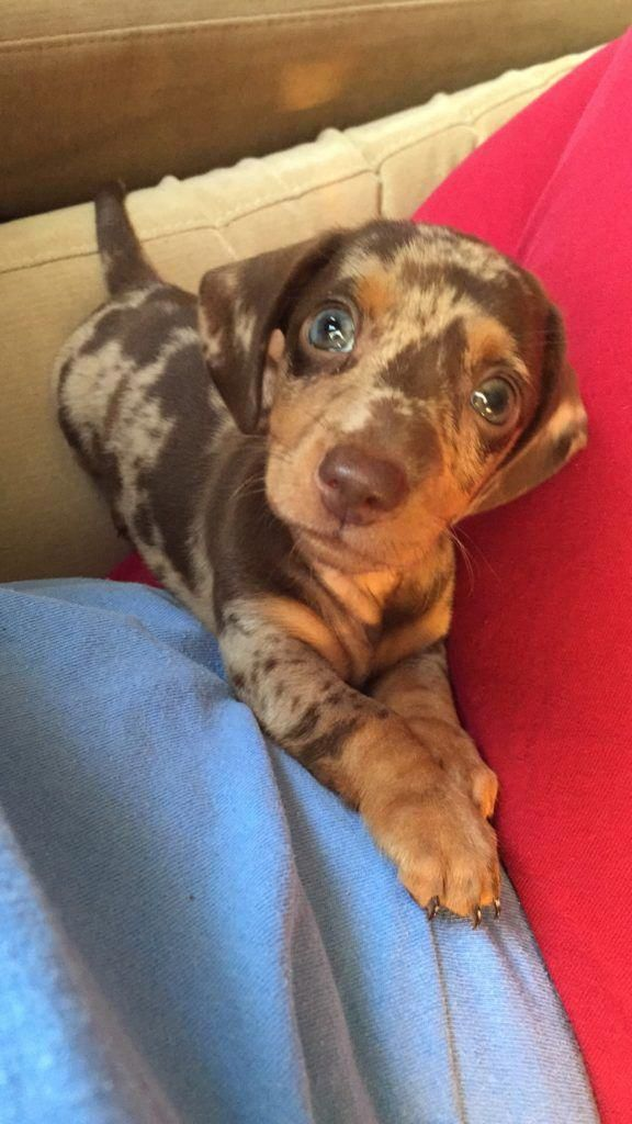 Breed Dachshund Gender Male Registry Akc Personality Happy Go