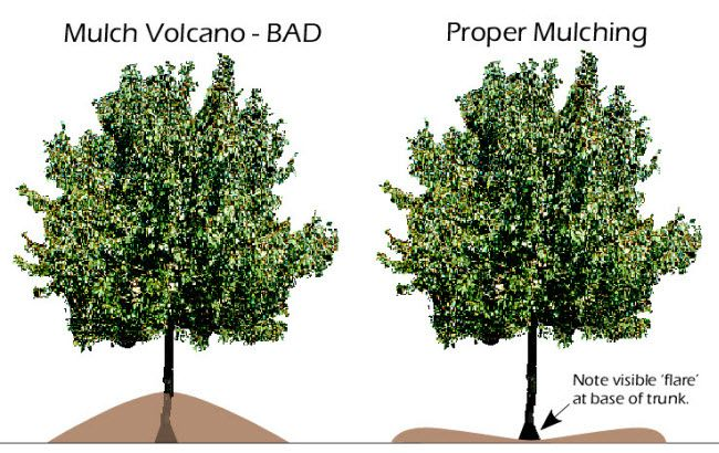PSA: mulch your trees in a ring, not a volcano! Do not let the mulch pile touch the trunk of the tree, or you risk your tree's health.