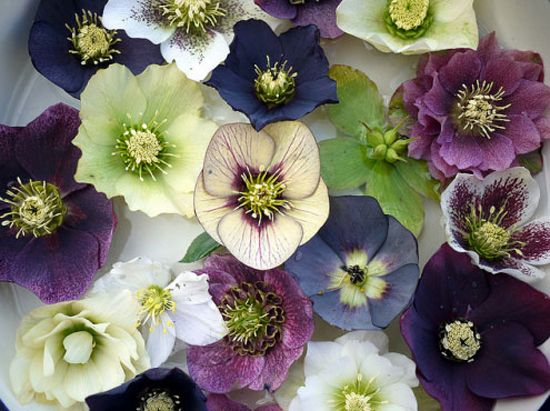 Just in time for Xmas - Christmas Roses!  Hellebore blooms in winter, proving that life flourishes all year long.
