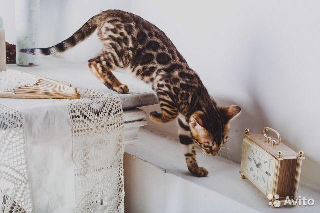 Бенгальские котята от питомника — фотография №10