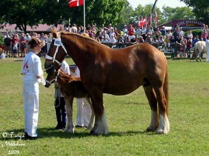 30 best images about Jutland Draft Horses on Pinterest | Stables ...