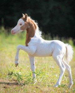 EBF Innamoramento -   Miniature Horse foal
