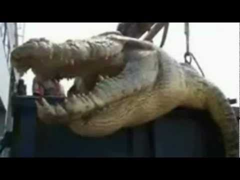 Worlds BIGGEST CROCODILE EVER RECORDED captured and killed ...