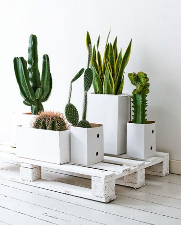 Cacti on pallets, urban jungle, green