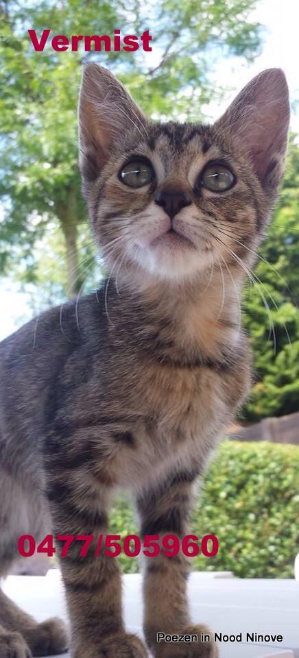 Arpreggio, kattinnetje is vermist in de Weggevoerdenstraat 80. Ze is bruin met zwarte strepen en heeft blauw/zwarte ogen, ze is het laatst gezien op 5 oktober in de weggenvoerdenstraat 80 Wie haar heeft gezien kan telefoneren naar het nummer 0477/50 59 60