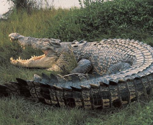 Nile #crocodile. #reptile