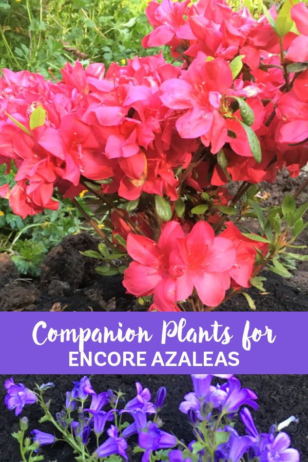 What Plays Well With My Encores Azaleas Flower Garden Plans French Country Garden