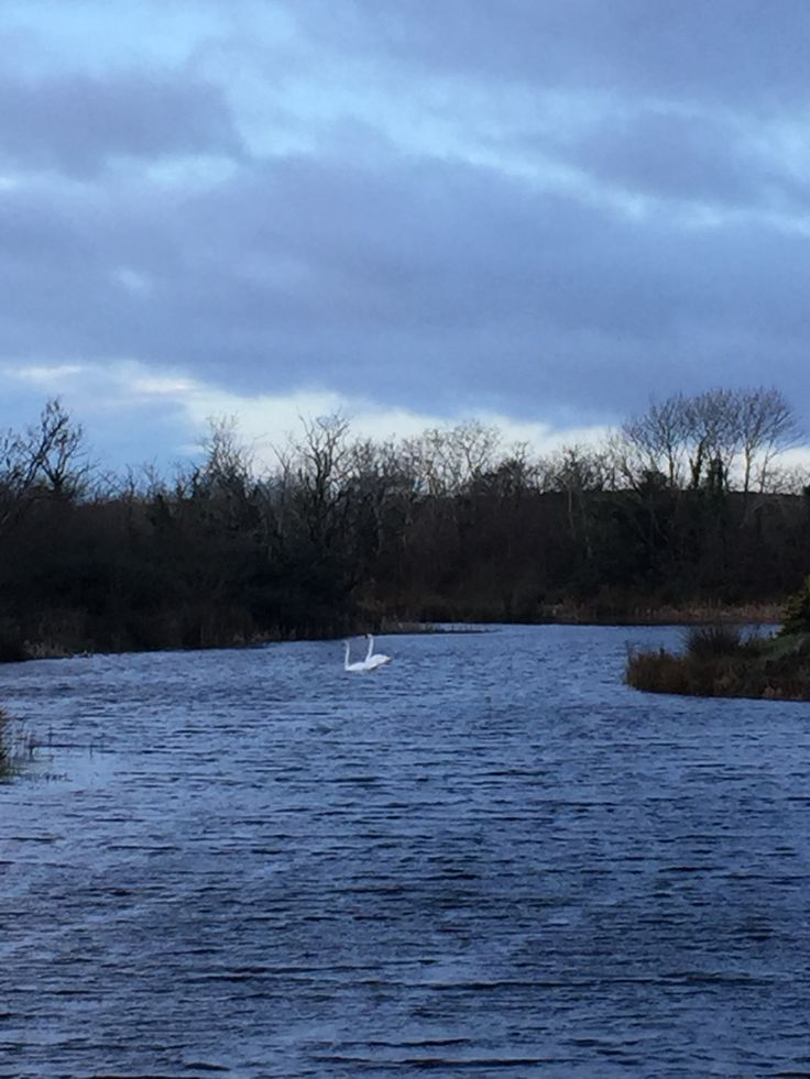 Our swans on the stormy lake this morning