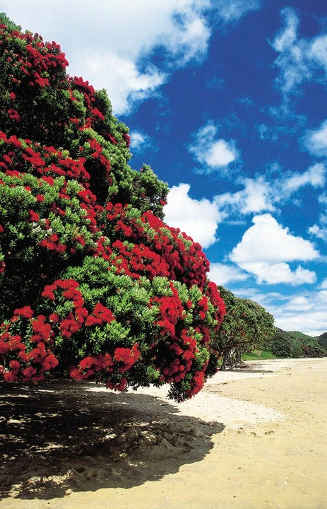 Pohutakawa  Tree                                  The New Zealand Christmas tree