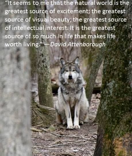 David Attenborough quote :). Mexican gray wolves