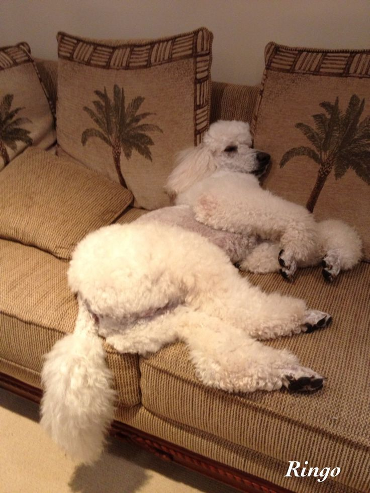 #Poodle #standard #white Ringo: I was very tired after my birthday party!
