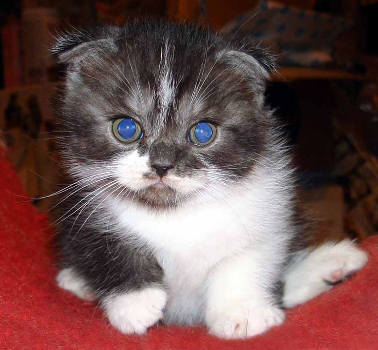 HAVE to have this kitten! Scottish Fold Kittens! So cute!