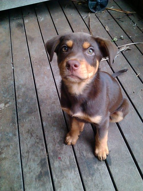 Kelpie puppy. I WILL HAVE ONE...someday..