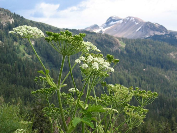 Cow-parsnip | Native Plant Articles by Dr. Richard Hebda