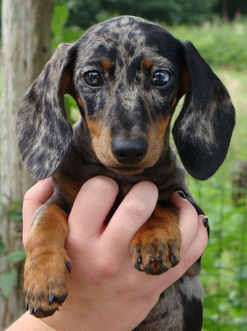 Frito Dachshund The American Spaniel Club A Leading Authority On
