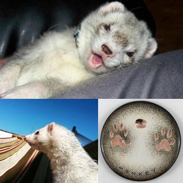 Here's Monkey! Have you ever seen a #ferret smile so big!? Thank you to Samantha for letting us share about her special guy. We #personalized Monkey's #impression to match his coloring and his markings for the nose print. #PeartreePaws
