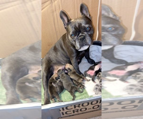 French Bulldog Litter Of Puppies For Sale In Amberg Wi Usa French Bulldog Frenchie Bulldog Puppy Puppies For Sale