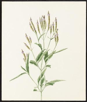 From the collection at Andersen Horticultural Library. Emma Roberts (1859-1948), a watercolorist from Minneapolis, founded the Handicraft Guild, and was supervisor of drawing for Minneapolis Public Schools. Emma painted Verbena hastata (Blue Vervain) in Minneapolis. It is dated August 4, 1885.