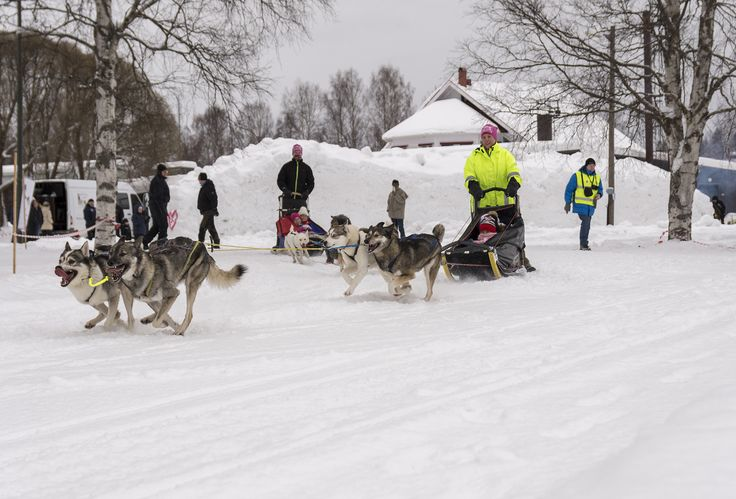 Adult and children ride a dog sledge on a field day in Mellansel Sweden.