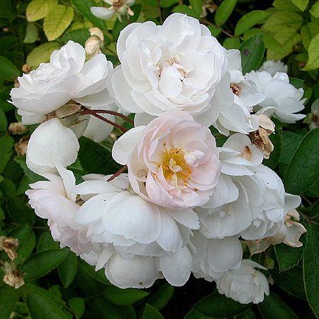 1000 images about rosiers multiflora et hybrides de - Comment tailler un rosier buisson ...