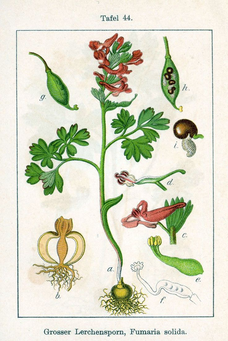 Vingerhelmbloem - Corydalis solida Afmeting: 10 tot 25 cm. Levensduur: Overblijvend.  Geofyt (winterknoppen onder de grond). Bloeimaanden: Maart en april. Wortels: Een massieve stengelknol van ongeveer 1 tot 3 cm in doorsnee. Stengels: Aan de voet groeien 2 kleine schubben, hogerop (meestal vlak boven de grond) zie je een vrij grote schub. De soort groeit vaak in groepen. Bladeren: Met 1 tot 3 blauwgroene bladeren, die meestal dubbel 3-tallig zijn met smalle deelblaadjes. De schutbladen…