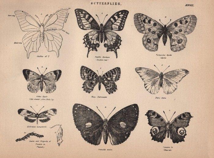 Free Clip Art : Vintage Butterflies - The Graphics Fairy