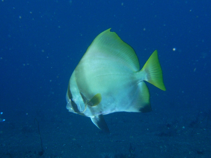 Batfish often become curious and accompany divers