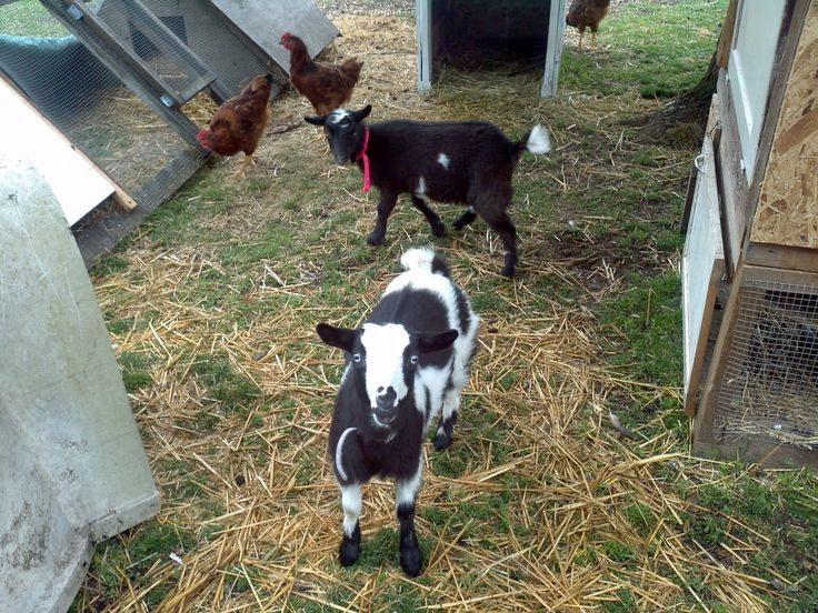 garden projects semi backyards forward goat names farming my backyard