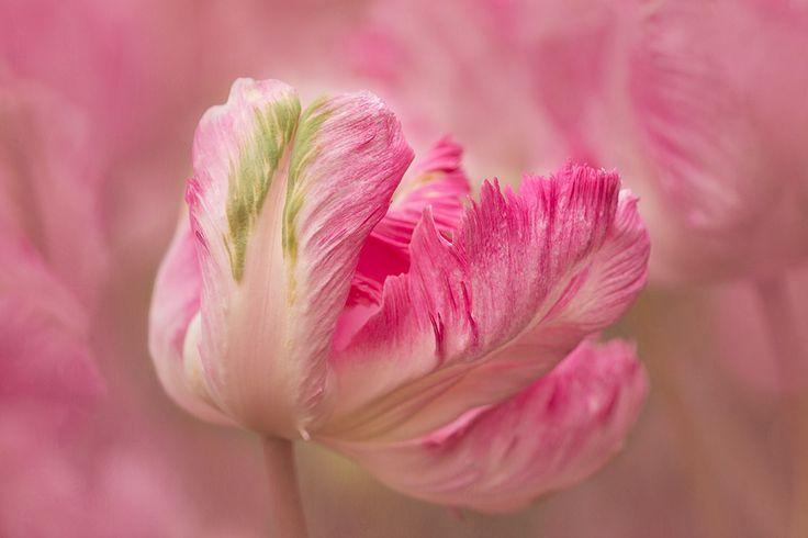 Tulip Grace by Kathleen Clemons on 500px