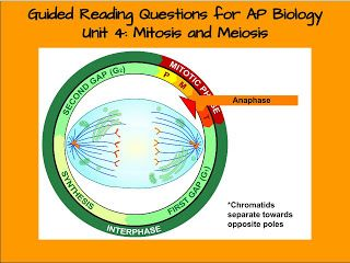 Mitosis quiz ap biology study