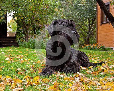 Schnauzer Gigante Preto Imagens de Stock Royalty Free - Imagem: 28705649