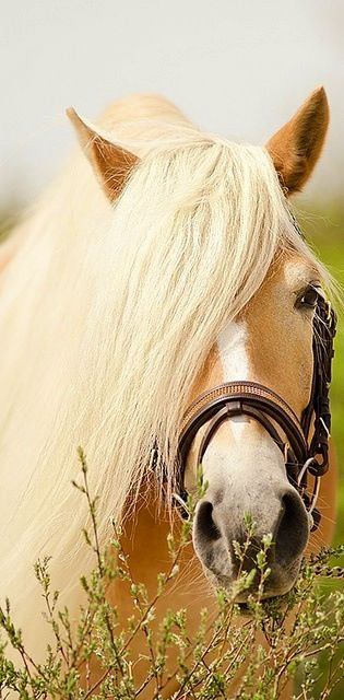 Haflinger horse. These horses are chestnut with a pangare modifier giving them the flaxen mane and tail. They are not palomino.: