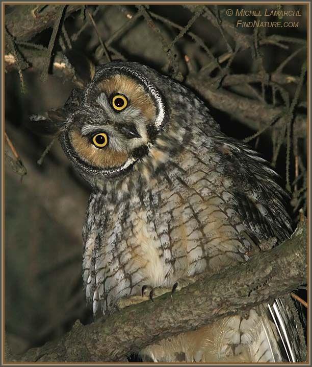 FindNature.com - Photos - Hibou moyen-duc, Long-eared Owl, Asio otus