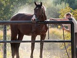 Do you know all you need to keep your horse cool and comfortable this summer?  Heat waves Unlike dogs and most other animals, horses have sweat glands throughout their skin....