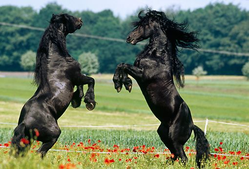 HOR 01 SS0103 01 - Two Friesian Horses Fighting In Pasture ...