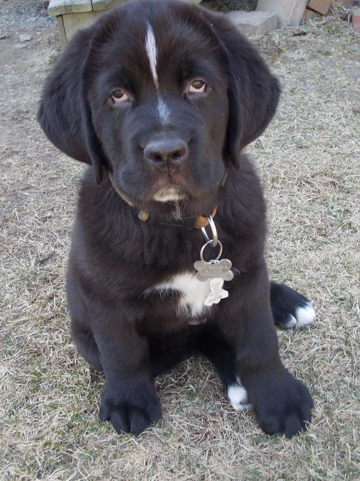 Saint Bernewfie He S Going To Be A Big Boy My ️