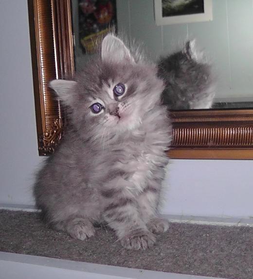 Siberian Kittens for sale in PA