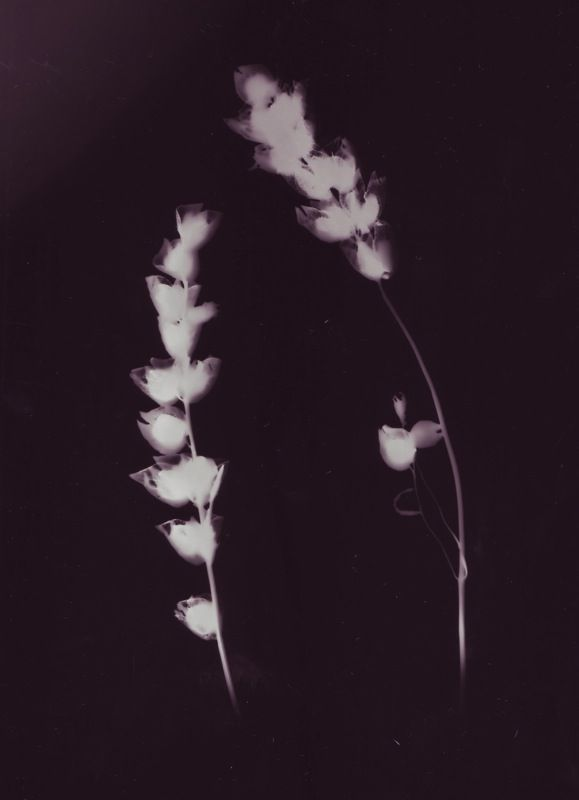 photogram by Antonia Flowerville