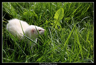 Furets © www.axel-photo-art.com