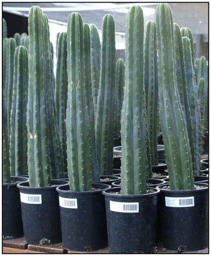 San-Pedro-cactus-plants-each-24-tall-Trichocereus-pachanoi-2015A