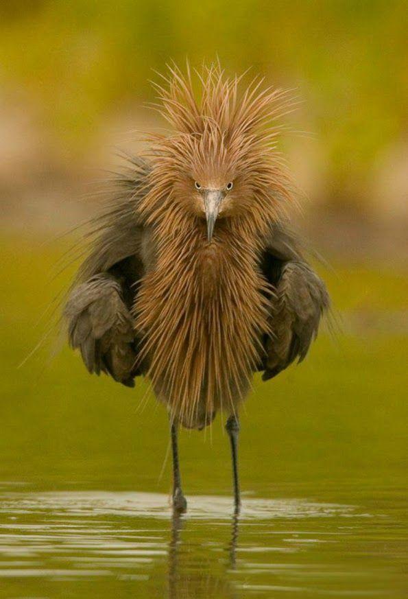 """Imagenes de aves raras yextrañas que están en peligro de extinción. Existe gran cantidad de especies variadas de aves, estas aves son de muy diversos tamaños, colores, pueden ser domésticas, o salvajes, nocturnas, marinas, etc… por esta razón, pueden llegar a existir muchas aves de las que no tenemos idea que existen. Así que ahora en este post disfruta de 10 fotos de aves de aspecto muy raro pero a la vez muy bonitas.  """"Aves Extrañas Imagenes"""" """"Aves raras fotos"""" """"Fotos De Aves Bonitas Y…"""