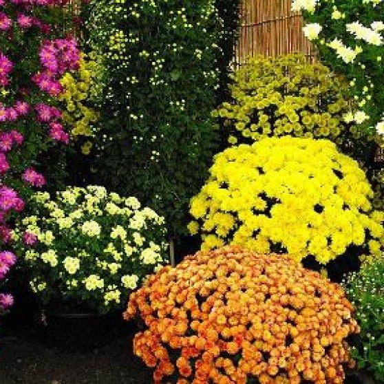 """planta del mes LA PLANTA DEL MES: Crisantemo (Chrysanthemum spp.) Nombre científico:Chrysanthemum spp. Nombre vulgar:Crisantemo. Origen:Asia y nordeste de Europa. Familia:Asteraceae. Hoy en nuestra sección: """"la planta del mes"""" , traemos los crisantemos. Este género de plantas incluye más de 30 especiesdiferentes. Son fácilesde cultivar y pueden llegar a tener entre 50 y 150 cm […]"""