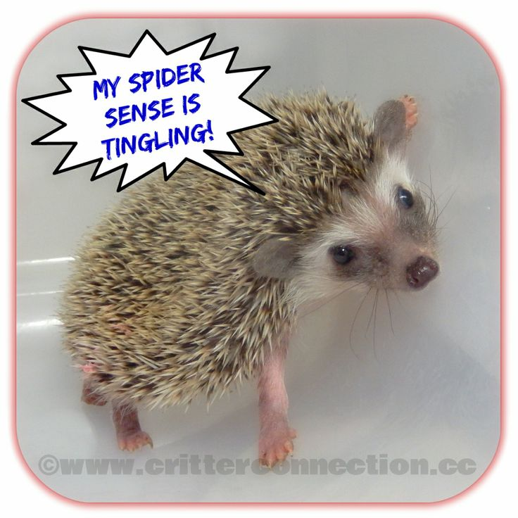 #hedgehog #meme #spiderman #millermeade #breeder #hedgie #lol   www.critterconnection.cc