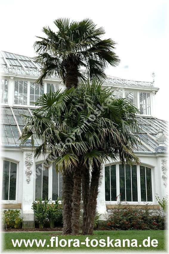 FLORA TOSKANA: Trachycarpus fortunei - Hanfpalme FLORA TOSKANA - Die Pflanzenwelt des Südens