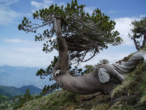 The Last Tree, mt. Smolikas @ #Pindos, #Greece #travel #ttot Photo via: Greg http://www.flickr.com/photos/12012224@N08/1215668998/