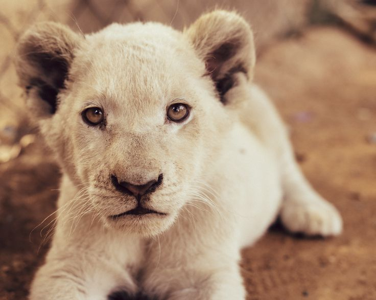 Little Poser by Adam Rozanski on 500px #africa #cub #johannesburg #lion #southafrica #Conservation